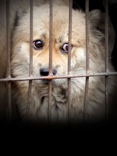 Open Letter From Animals Asia To The Dog Meat Traders Of Yulin (Please search below) http://itsnofestival.animalsasia.org/