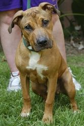 Jace #36851 is an adoptable Hound Dog in Baton Rouge, LA.   All dogs in the adoption program are examined by a veterinarian, vaccinated, spayed/neutered, and micro-chipped prior to leaving the shelt...