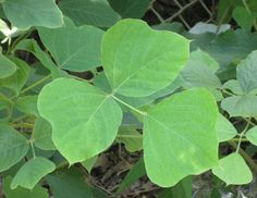 *KUDZO* Pretty much the entire plant is edible and is also known for medicinal values. We were blessed to find this great patch of Kudzu surrounded by Blackberries. The leaves can be eaten raw, steam or boiled. The root can be eaten as well.