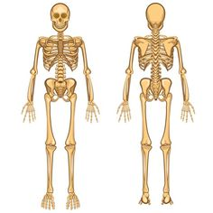 kostra člověka popis – Vyhledávání Google Human Skeleton For Kids, Human Skeleton Anatomy, Human Body Anatomy, Anatomy Bones, Skeleton Model, Medical Posters, Birds In Flight, Illustration