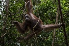 Borneo Lost More Than 100000 Orangutans From 1999 to 2015