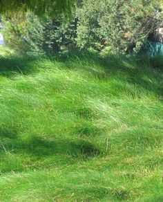Creeping red fescue lawn. Red fescue is native and drought-tolerant. No need to cut!!