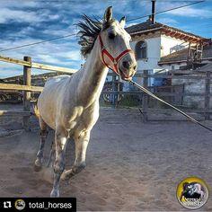 Gracias @total_horses por elegir mi foto. #Repost @total_horses (@get_repost)  .  . FELICIDADES/ CONGRATULATIONS .  @chemadieste  .  Seleccionada por/ Select by: @jmariaiglesias . Tag: #total_horses  . Follow/ Siguenos: @total_horses  .  ONLY YOUR PHOTOS    Recuerda visitar/ Remember to visit our: @total_community_hubs   Galerías amigas recomendadas/ Recomended hubs: @fever_family  #horsesofinstagram #instahorse #horselive #horselovers #horsephotography #equine #equestrian #equestrianstyle…