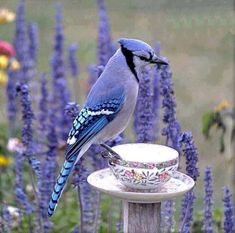 Blue Jay. Stunning photo!