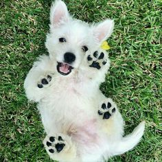 Westies, Westie Puppies, Bulldog Puppies, Cute Puppies, Dogs And Puppies, Chihuahua Dogs, Terrier Dog Breeds, Terriers, Terrier Mix
