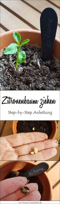 So zieht man einen Zitronenbaum! Mit Step by Step Anleitung. #Zitronenbaum #Zitronenbäumchen #Pflanzenziehen #selberziehe