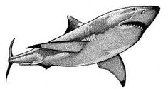 great white shark drawings - Google Search