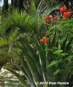 Hot tropics: Pride of Barbados, palm & agave combo