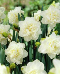Daffodils 'Obdam' • Narcissus 'Obdam' • Plants & Flowers • 99Roots.com