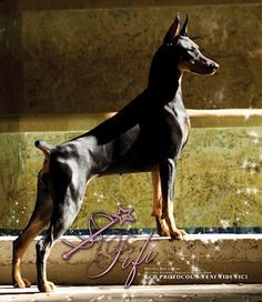 Fifi - #1 Doberman and #2 show dog in the country. I expect her to win Best in Show at Westminster Feb 2013!!!  She is a beauty, and total cute Dobie personality!!