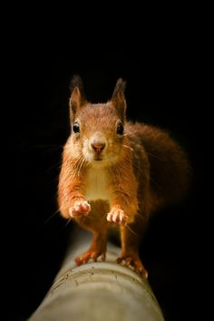 Red Squirrel - On The Run by Old-Man-George, via Flickr
