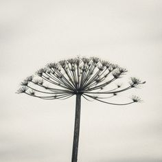 Cow Parsnip by Gavin McLaughlin on 500px