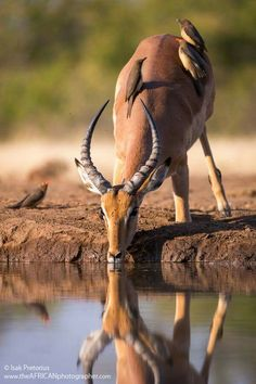 ♡ A beautiful shot of a Impala at the watering hole. Mashatu Game Reserve in Botswana 28 July 2015 ♡