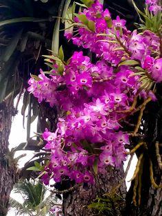 Lindisimas orquideas