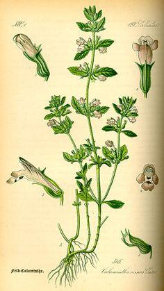 La Sarriette, parfois appelée Pèbre d'ai ou Pèbre d'ase (qui signifie en provençal « poivre d'âne » à cause de ses vertus ; en Valais, en Suisse romande, elle est appelée « poivrette »), est un genre de plantes vivaces aromatiques de la famille des Lamiacées, que l'on trouve notamment sur les bords des chemins méditerranéens. Elle est aussi connue sous les noms de savourée, de sadrée et d'herbe de Saint Julien.