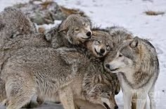 Image result for wolf family