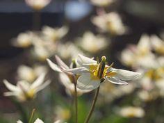 Tulipa turkestanica er en villtulipan/ botanisk tulipan. Den får en blomsterstilk pr løk, og hver stilk kan få opp til...