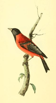 Hooded Seed-eater - William Swainson