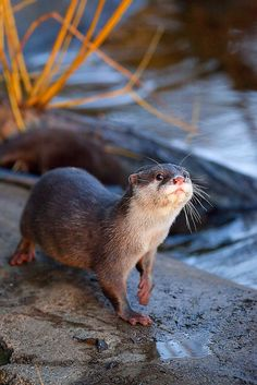 OTTER: Any of various aquatic, carnivorous mammals of the genus Lutra and allied genera, related to the minks and weasels and having webbed feet and dense, dark brown fur.