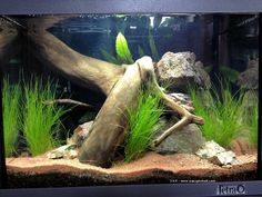 Large driftwood and planted aquarium