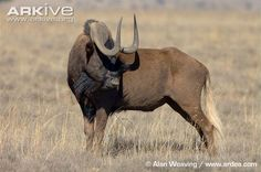 Black wildebeest, mature bull