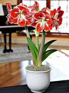 Amaryllis Bulbs Hippeastrum Perennial Plant Flower Purple Bonsai Festival Gift