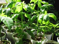 Preserving Basil - Country Living and Garlic Farming in BC