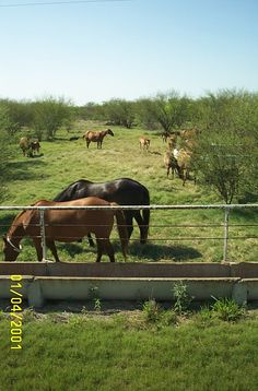 Horses at the King Ranch - Kingsville, TX