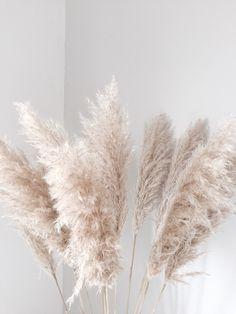 herbe des pampas ou roseau à plumes est une grande plante herbacée vivace de la famille des Poacées