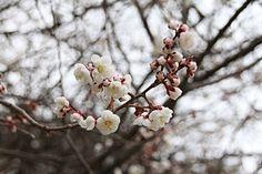 興国寺の臥龍梅 4/6(5分咲き)