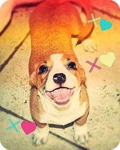 Chandler, AZ - Basset Hound/Dachshund Mix. Meet ARWEN - pocket puppy!, a puppy…
