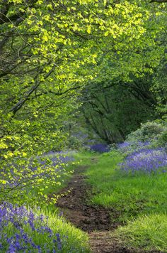 Paradise in Spring. Flisteridge Wood Bluebells, Malmesbury, Wiltshire, England by Stuart Madeley Terre Nature, Beautiful World, Beautiful Places, Beautiful Forest, Wild Bluebell, English Countryside, Garden Cottage, Pathways, Beautiful Landscapes