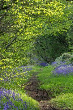 Flisteridge Wood Bluebells, Malmesbury, Wiltshire, England by Stuart Madeley