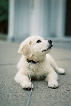 Golden Retriever Pup ~ Classic Look Animals And Pets, Baby Animals, Cute Animals, Background Grey, Cute Puppies, Dogs And Puppies, Havanese Puppies, Pet Dogs, Dog Cat