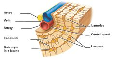 The use of PEMF is critical in accelerating cartilage repair. PEMF energizes the extracellular matrix speeding up the production of cartilage. Spinal Disc Herniation, Anatomy Of The Knee, Human Skeleton Anatomy, Costochondritis, Body Bones, Lacuna, Knee Osteoarthritis, Knee Pain Relief, Studio