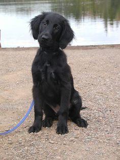 My (Flat-Coated Retriever) puppy named Captain.