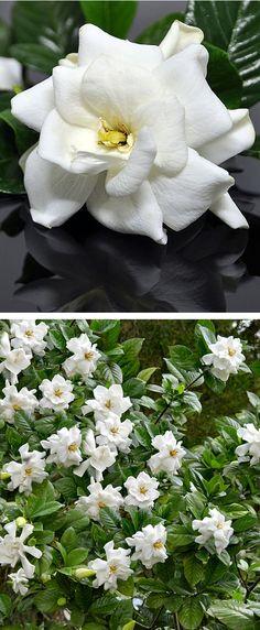 Gardenia Frost Shrub