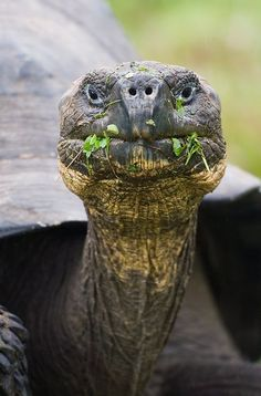 You got something on your face... | Galapagos Tortoise, Puerto Ayora, Galapagos, Ecuador. Photo credit: Arthur Morris/BIRDS AS ART.