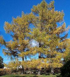 Alerces. Son árboles caducifolios, con hojas aciculares, suaves, verdes, brillantes, en grupos de fascículos de 15 a 40 sobre braquiblastos; las agujas se vuelven amarillas y caen a finales de otoño, saliendo de los árboles deshojados con el invierno.