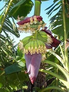 Banana in Surinam