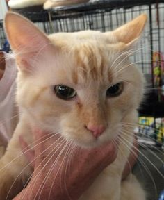 Scooter is an adoptable Tabby - Orange searching for a forever family near…