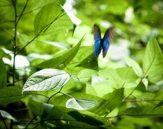 Blue Morph Butterfly