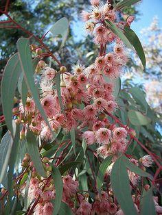 Australian Native Garden, Australian Native Flowers, Australian Plants, Nature Plants, Garden Plants, Drought Tolerant Garden, Le Far West, Different Flowers, Plant Design