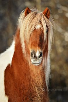 Icelandic horse, photo by Emmy Eriksson