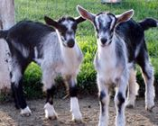 A couple of Alpine Goats for milk and fence row cleaning