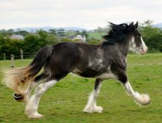 Beautiful young Clydesdale Mare for sale