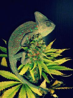 chameleon, and weed!?