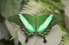 Mooie groene vlinder