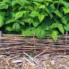 Use pruned raspberry canes to create attractive woven garden edging. This easy project is great for the vegetable garden or for decorative borders. Garden Edging, Garden Paths, Garden Art, Wooden Compost Bin, Garden Dividers, Raspberry Canes, Willow Flower, Building Raised Garden Beds, Vegetable Garden Design