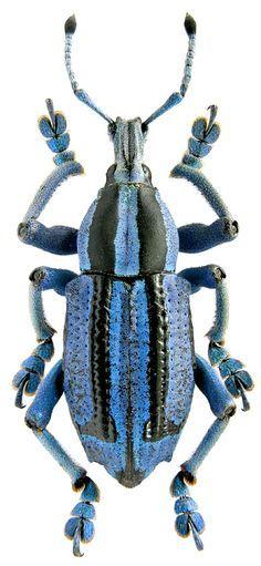 Eupholus benetti. Eupholus benetti Gestro, 1876 (Curculionidae) Papua New Guinea, Morobe prov., Aseki subdistrict, Hiewini vill., 23.01.1998
